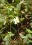 Melastomataceae - Pterolepis glomerata