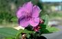 Melastomataceae - Tibouchina urvilleana var. urvilleana