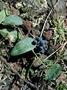 Menispermaceae - Cocculus orbiculatus