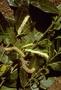 Moraceae - Streblus pendulinus