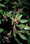 Myricaceae - Morella faya