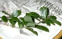 Primulaceae - Myrsine knudsenii
