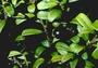 Primulaceae - Myrsine punctata