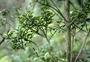 Primulaceae - Myrsine sandwicensis