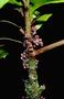 Primulaceae - Myrsine wawraea