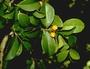 Myrtaceae - Eugenia reinwardtiana