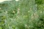Myrtaceae - Leptospermum scoparium