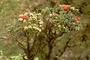 Myrtaceae - Metrosideros rugosa