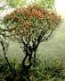 Myrtaceae - Metrosideros waialealae var. waialealae