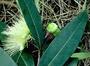 Myrtaceae - Syzygium jambos