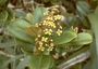 Myrtaceae - Syzygium sandwicense