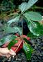 Nyctaginaceae - Pisonia umbellifera