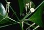 Nyctaginaceae - Pisonia brunoniana