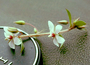 Ochnaceae - Sauvagesia erecta