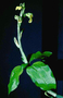 Orchidaceae - Anoectochilus sandvicensis