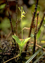 Orchidaceae - Liparis hawaiensis
