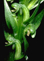 Orchidaceae - Platanthera holochila