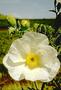 Papaveraceae - Argemone glauca var. decipiens