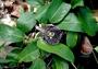 Passifloraceae - Passiflora laurifolia