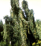 Passifloraceae - Passiflora tarminiana