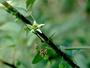 Passifloraceae - Passiflora suberosa