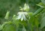 Passifloraceae - Passiflora subpeltata