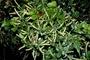 Piperaceae - Peperomia eekana