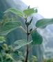 Piperaceae - Peperomia hirtipetiola