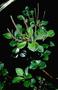 Piperaceae - Peperomia hypoleuca