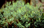 Piperaceae - Peperomia kipahuluensis