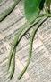Piperaceae - Peperomia membranacea