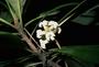 Pittosporaceae - Pittosporum hosmeri