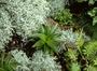 Plantaginaceae - Plantago princeps var. laxifolia