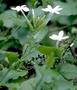 Plumbaginaceae - Plumbago zeylanica