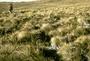 Poaceae - Deschampsia nubigena