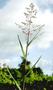 Poaceae - Isachne distichophylla