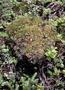 Poaceae - Dichanthelium isachnoides