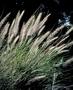 Poaceae - Cenchrus setaceus