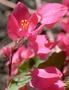 Polygonaceae - Antigonon leptopus