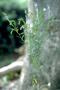 Polygalaceae - Polygala paniculata