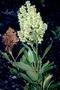Polygonaceae - Rumex skottsbergii