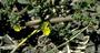 Portulacaceae - Portulaca oleracea