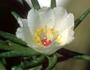Portulacaceae - Portulaca sclerocarpa