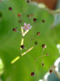 Portulacaceae - Talinum paniculatum