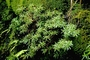 Primulaceae - Lysimachia iniki
