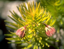 Primulaceae - Lysimachia remyi