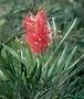 Proteaceae - Grevillea banksii