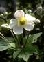 Ranunculaceae - Anemone hupehensis var. japonica
