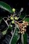Rhamnaceae - Alphitonia ponderosa