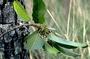 Rhamnaceae - Colubrina oppositifolia